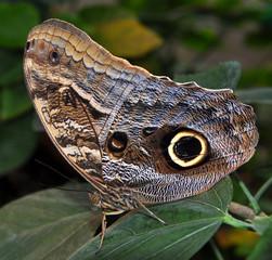 butterfly achilles morpho