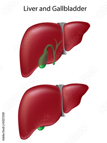 Human liver and gallbladder, textbook accuracy, eps8