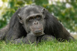 Schimpanse in menschlicher Pose