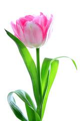 Rosa Frühlings Tulpe - Frühlings Blume