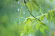 New Virginia Creeper, Early Summer Rain, Gentle Bokeh