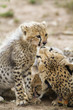 Cheetah cub is preened by its mother