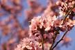 Wiosna, kwitnąca jabłoń
