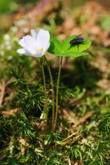 oxalis flower macro shot and fly