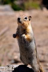 Streifenhörnchen aufrecht stehend
