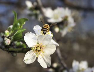 Bee flies on an almond tree