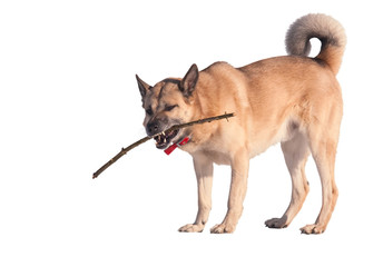 West Siberian Laika (Husky) playing with a stick