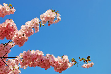 Flowering Japanese cherry tree branches against a clear blue sky