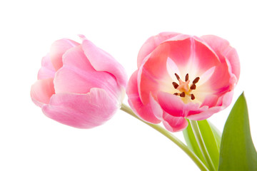 Beautiful pink Dutch tulips over white background