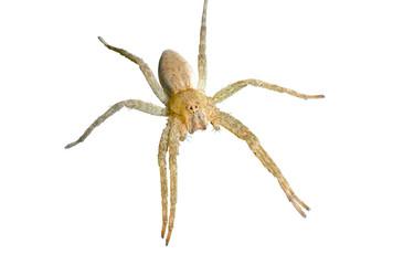 Spider (Pisauridae) 4