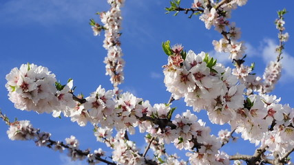 almond blossom moved by the wind