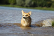 welsh corgi in the waves