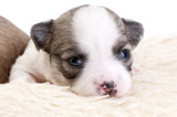 adorable two weeks old Chihuahua puppy portrait