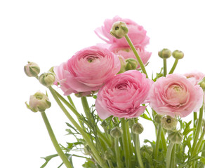 bunch of pale pink ranunculus (persian buttercup)