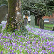 Постер, плакат: purple crocuses flowering on old graveyard