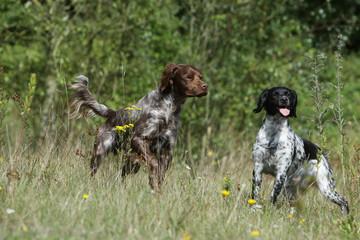 deux chiens de chasse en action