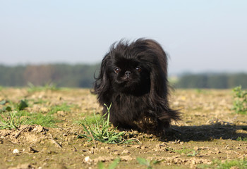 black pekingese walking outside