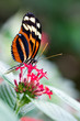 heliconius xanthocles longwing butterfly