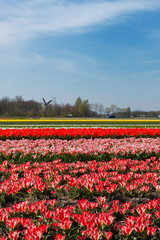 Fields with tulips in Holland