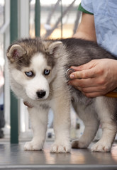 Husky puppy at vet having his heart rate taken