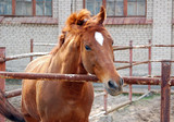 Portrait of red horse in enclosure with brick wall on background poster