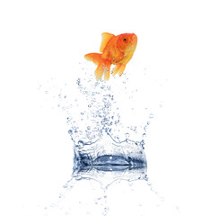 Golden fish jumping from water
