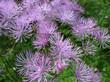 Meadow-rue (Thalictrum aquilegifolium)