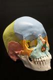 Menschlicher Schädel, Modell