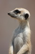 Meercat from the Side