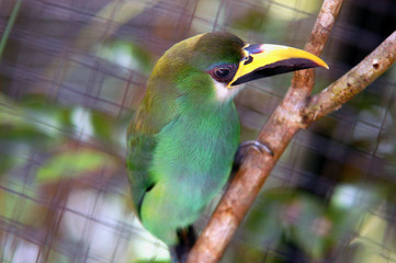 green tropical bird with yellow/balck beak from Belize zoo