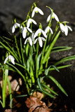 First blooming snowdrops in Februari sunshine poster