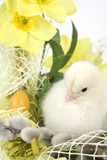 Fototapety The Easter basket with the living chicken and flowers