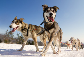 Close up of a sled dog team in action, heading towards the camer