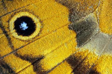 Butterfly wing, Common Brown, Heteronympha merope