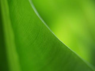 Bananenblatt 21, mit geringer Tiefenschärfe