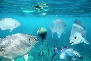 lowfin chub fishes underwater around buoy