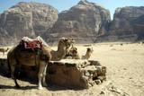 Cămile, Wadi Rum, Iordania