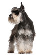 Miniature Schnauzer, 6 years old, standing
