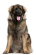 Leonberger, 11 months old, sitting in front of white background
