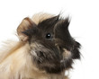 Young Peruvian guinea pig, 6 months old