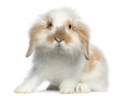 Lop rabbit, 6 months old, in front of white background