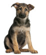 German Shepherd puppy, 4 months old, sitting