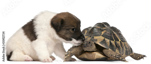 Fox terrier puppy, 1 month old, and Hermann's tortoise