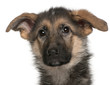 Close-up of German Shepherd puppy, 4 months old