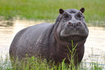 Emerging Hippo