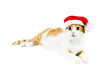 cute red and white cat in santa's hat isolated