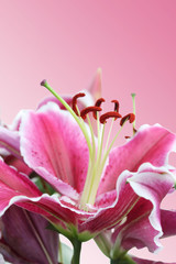 Macro of a Pink Lily Flower on a Pink Background