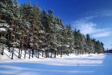 winter forest in bright sunny day