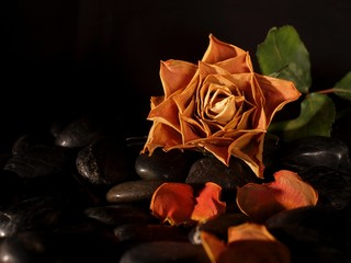 Withered rose on pebbles