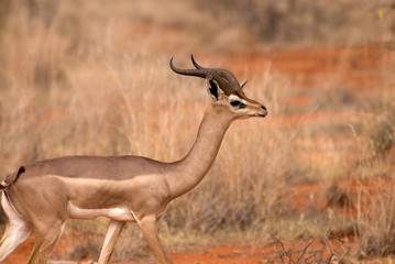 Gerenuk, Tsavo East National Park